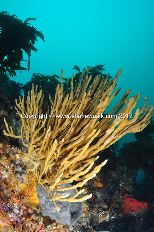 A large finger sponge (Lophon proximum) at Astrolabe Reef.