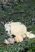 Mountain Goat nanny with young kid.  Western U.S.