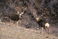 Mule Deer, Black-tailed Deer (Odocoileus hemionus), bucks facing off, Colorado, USA
