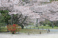 A red flowering 'Nakai' tree (Japanese Quince) sits beneath a cherry blossom tree in the gardens of Shosei-en