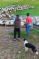 Europe/France/Aquitaine/64/Pyrénées-Atlantiques/Pays-Basque/Aussurucq: Jean-Paul Erdozainy Etchart , berger, ramène son troupeau de brebis en estive dans les paturages d'Ahusquy à son cayolar pour la traite [Autorisation : 2011-129] [Autorisation : 2011-128]