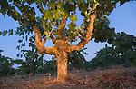 Petit sirah vine, planted in 1950s