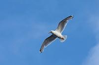 Silbermöwe, Flug, Flugbild, fliegend, Silber-Möwe, Möwe, Möwen, Silbermöve, Larus argentatus, herring gull, European herring gull, gull, gulls, flight, flying, le goéland