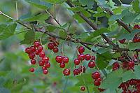 Rote Johannisbeere, Rote Garten-Johannisbeere, Johannis-Beere, Reife Früchte, Kulturform, Ribes rubrum var. domesticum, Red Currant
