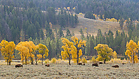 Bison and cottonwoods dot the floor of the Lamar Valley in autumn.