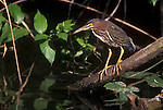 Green Heron, Evergalades NP, Florida, USA