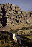 Mountain goat in Glacier National Park, MT