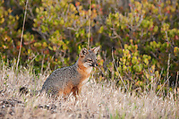 Endangered Island Fox - Urocyon littoralis santacruzae - Santa Cruz Island, Channel Islands National Park, California