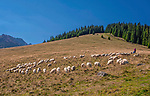 Owce na Rusinowej Polanie, Tatry, Polska<br /> Sheep on Rusinowa Glade, Tatra Mountains, Poland
