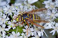 Mulm-Schwebfliege, Mulmschwebfliege, Spilomyia diophthalma, Hoverfly