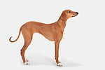 Azawakn Dog, Standing, Studio, White Background