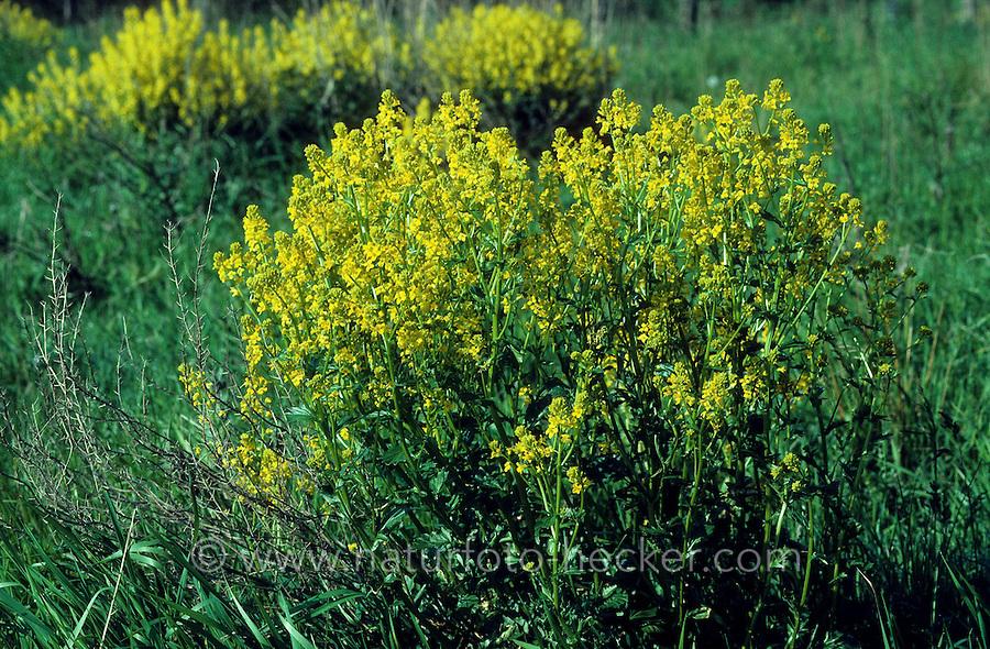 Barbarakraut, Barbara-Kraut, Barbenkraut, Barben-Kraut, Barbarea vulgaris, Bittercress, Winter Cress, Yellow Rocket, Barbara´s Herb