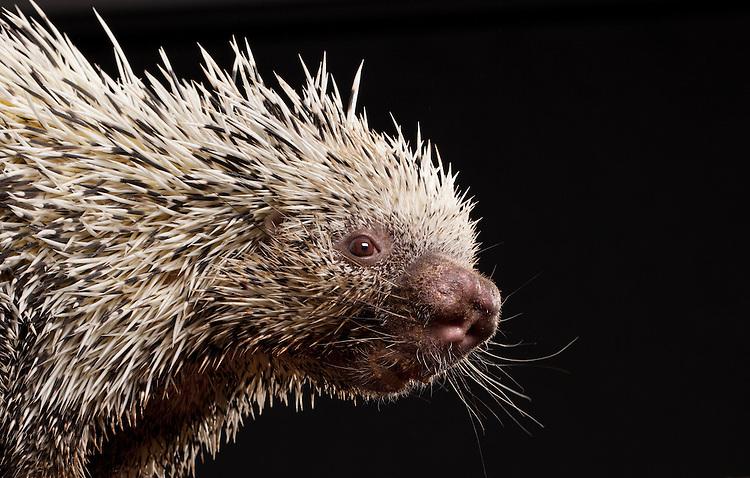 Brazilian Prehensile Tailed Porcupine (Coendou prehensilis) © Carli Davidson