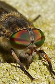 Large Marsh Horsefly - Tabanus autumnalis