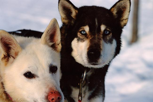 Husky portraits Sweden.
