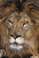 656259122 Portrait of a captive male African lion panthera leo including part of his huge mane. Subject is a wildlife rescue.
