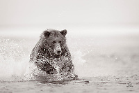 This Coastal Brown Bear was making the most of a healthy salmon run.  On this morning she caught a half dozen big salmon.  Here she closes the distance on a silver salmon (visible just outside her reach).  This proved to be the salmon's final moment of life.  The bear smacked it with her paws, stunned it, and grabbed it in her powerful jaws.