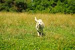 Beige labrador adult running toward camera. Call Again Farm.