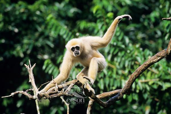 Male white-handed gibbon or Lar Gibbon (Hylobates lar), S.E. Asia.