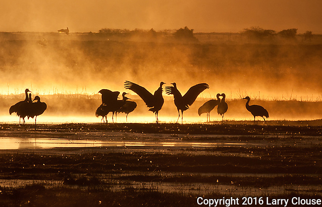 March 11, 2016 - Monte Vista, Colorado, U.S. -  At sunrise, Sandhill Cranes begin to stir in southern Colorado's Monte Vista National Wildlife Refuge.<br /> <br /> Each year more than 20,000 Sandhill Cranes migrate through the wetlands of the San Luis Valley's Monte Vista National Wildlife Refuge, Monte Vista, Colorado.  The Rocky Mountain population of the Greater Sand Hill Cranes spends more time in the San Luis Valley than at either of their wintering or breeding grounds.  The peak springtime migration is mid-March.
