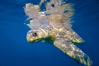 olive ridley sea turtle, female, Lepidochelys olivacea, Costa Rica, Pacific Ocean