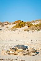 Australian flatback sea turtle, Natator depressus, endemic to Australia and southern New Guinea, female returning to sea after nesting, Australia