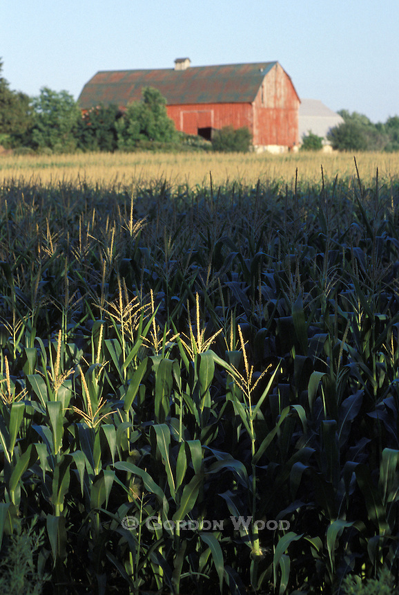 Corn Stalks in last light and Barn out of focus in background