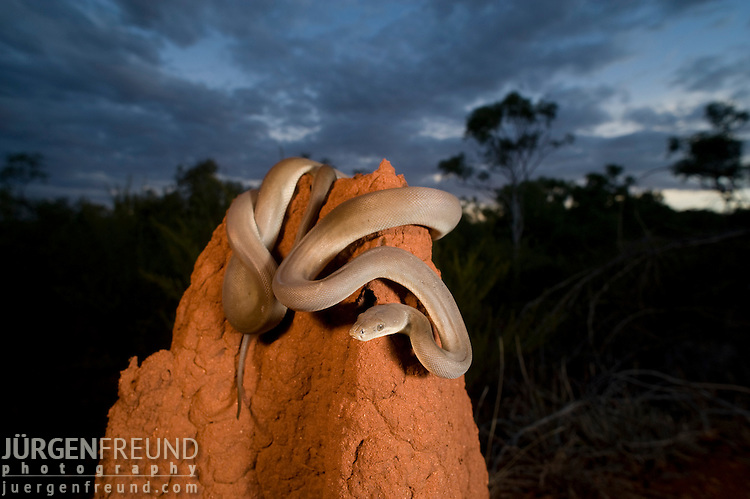 Olive Pythons(Liasis olivaceus) perched on top of a termite mound