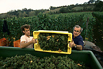 'WINE IN ENGLAND, SOMERSET', MAJOR GILLISPIE & ONE OF THE CASUAL LABOURERS LOADING GRAPES INTO A BARROW THAT WILL BE TAKEN OFF TO BE PULPED. THIS CASUAL LABOURER IS AUSTRALIAN, 1989