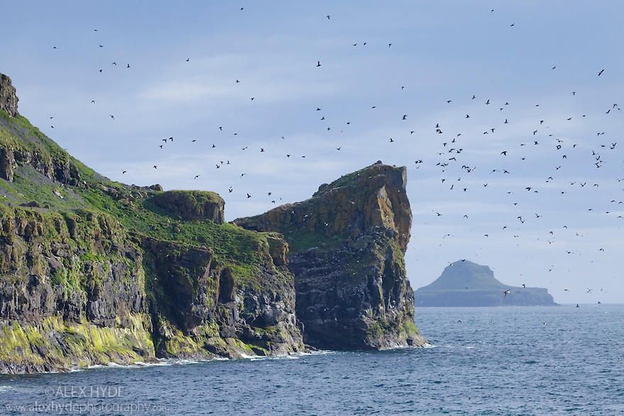 Atlantic puffins (Fratercula arctica) flying into nest site on cliff top, Isle of Lunga, Treshnish Isles, Scotland, June.