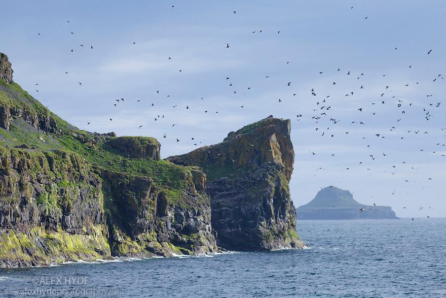 Atlantic puffins (Fratercula arctica) flying into nest site on cliff top, Isle of Lunga, Treshnish Isles, Scotland, June.