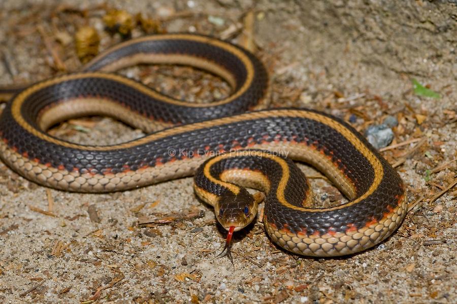 Garter Snake hunting,