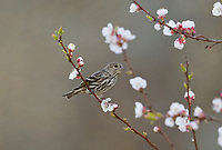 Pine Siskin (Carduelis pinus), adult perched on blooming apricot tree  (Prunus sp), Hill Country, Central Texas, USA