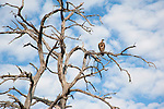 Vulture Surveying from a Dead Tree in Chobe National Park in Botswana in Africa