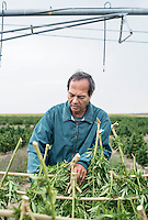 Tim Knight (cq) helps in the harvest of industrial grade hemp in the Stanley Brother's farm near Wray, Colorado, Monday, September 22, 2014. The Stanley Brothers have developed a popular strain of marijuana that has been found to be helpful in reducing seizures. The marijuana high in CBDs and low in THC, the chemical which gets a person stoned.<br /> <br /> Photo by Matt Nager