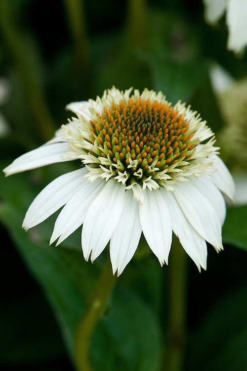 Echinacea purpurea 'Milkshake', early July. A double white Echinacea whose pompom flowers open in June through to September.