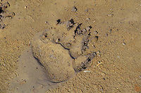 Grizzly Bear (Ursus arctos) track in mud, Alaska. (front paw).