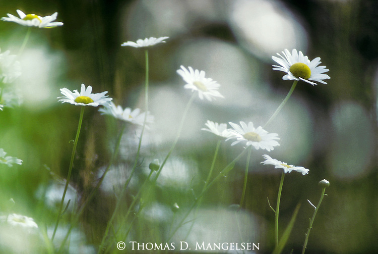 A group of Daisies in northern Maine.