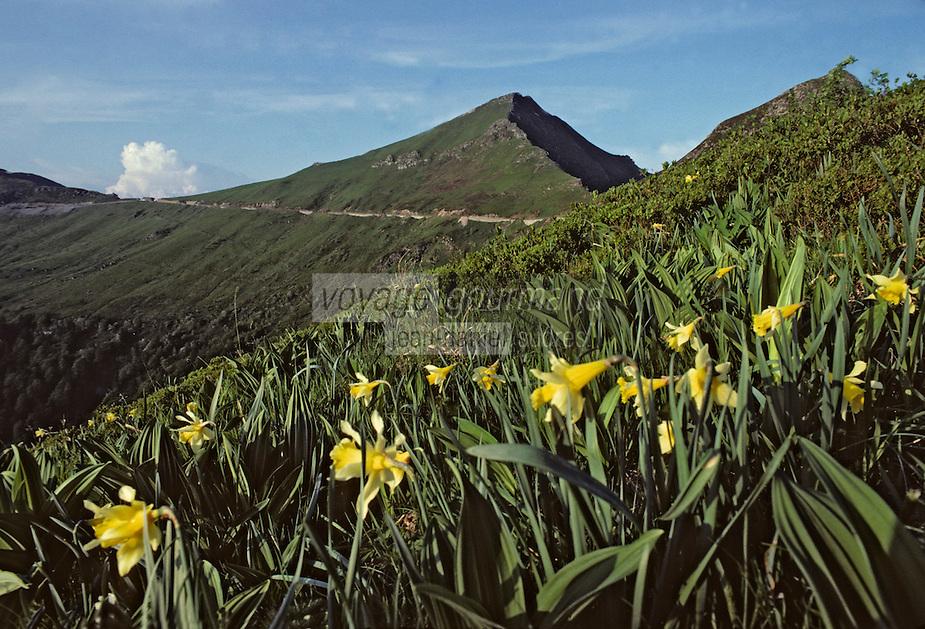 Europe/France/Auvergne/15/Cantal/Parc Naturel Régional des Volcans: Le massif du Puy Mary (1787 mètres) et jonquilles
