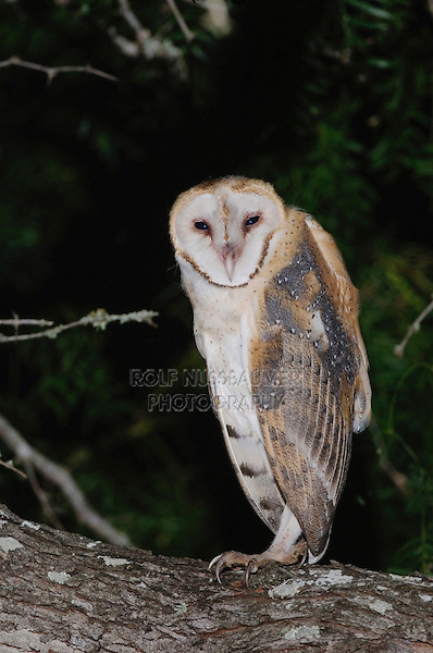 Barn Owl, Tyto alba, adult, Willacy County, Rio Grande Valley, Texas, USA, May 2007