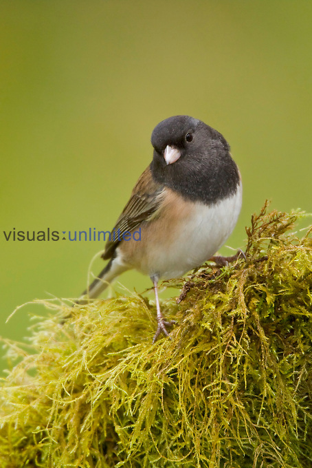 Dark-eyed Junco (Junco hyemalis) perched on a branch, Victoria, BC, Canada.