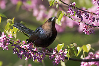 Brown-headed Cowbird (Molothrus ater) male on redbud tree in Carolinian forest. Spring. Lake Erie. Windsor, Ontario. Canada.