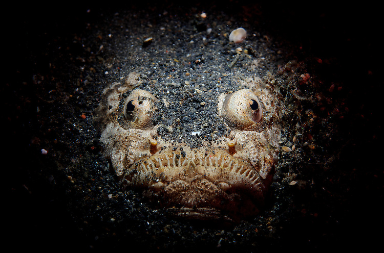 Reticulate stargazer: Uranoscopus sp., facial view buried in sand