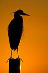 Heron at sunset, The Sandestin Golf & Beach Resort, Destin, Florida