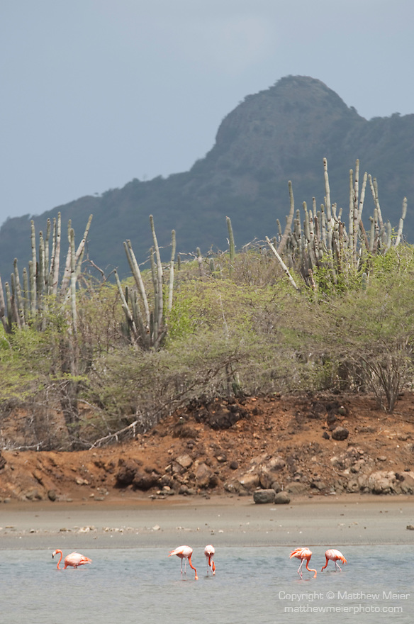 Washington Slagbaai National Park, Bonaire, Netherlands Antilles; American Flamingo (Phoenicopterus ruber) birds , Copyright © Matthew Meier, matthewmeierphoto.com All Rights Reserved