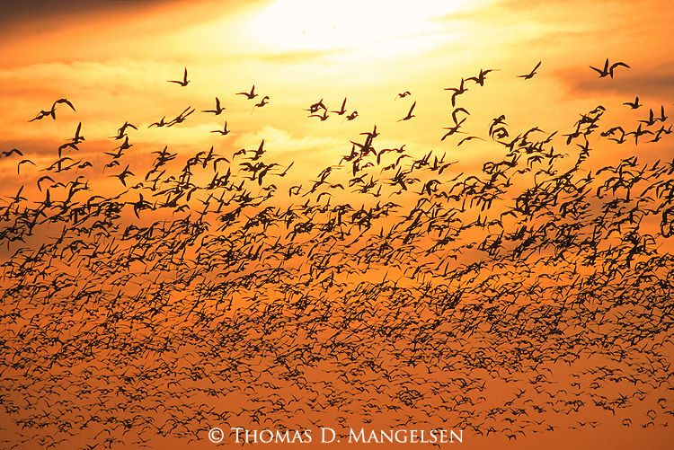Huge flock of snow geese fly over the Platte River as they migrate to Northern Canada.