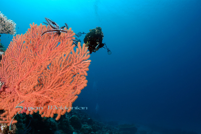 Diver with Sea Fan, Larantuka, eastern end of Flores Island, East Nusa Tenggara, Indonesia. ,