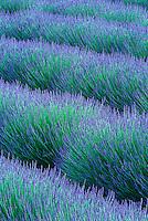 Pattern in rows of  Lavender, Avignon de Provence, France