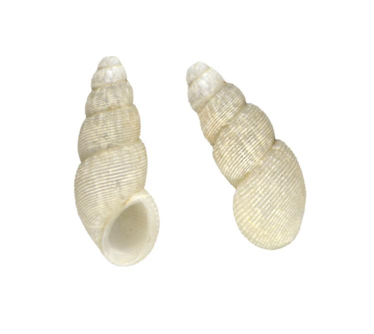 Onoba semicostata - Onoba semicostata