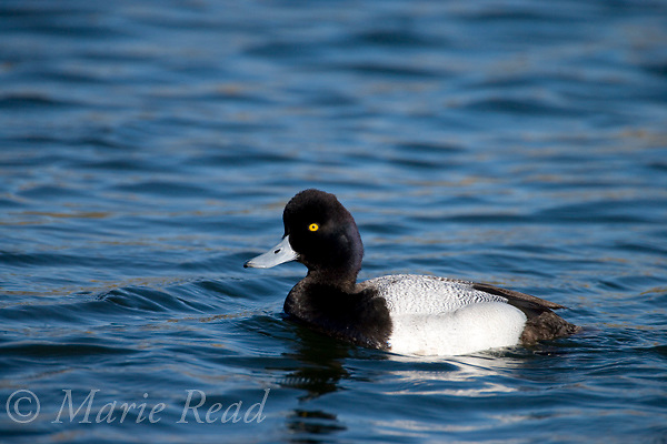 Lesser Scaup (Aythya affinis) male, breeding plumage, Bolsa Chica Ecological Reserve, California, USA